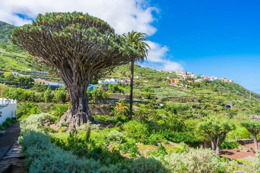 Drago Milenario - Dragon Tree in Tenerife