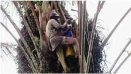 Liberia Palm wine harvest